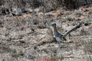 Roadrunner In The Wild