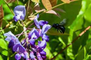 Black Bee on Wisteria