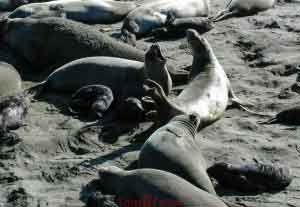 Elephant Seal Female Discussion