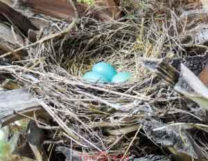 Robin Nest With Three Eggs