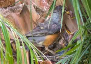 Baby Robins Are Very Hungry