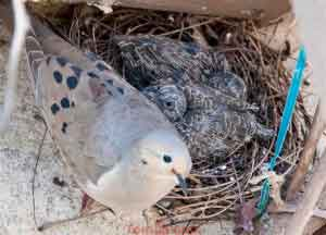 Dove With 2 Chicks