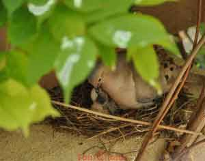 Dove With Newborn