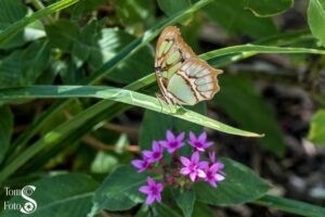 Brown and Green Spotted Malachite 01